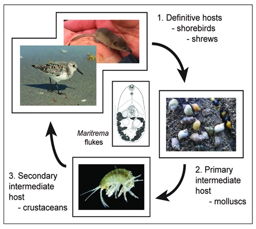 The complex life cycle of Maritrema flukes in association with Sorex pribilofensis shrews