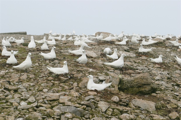 Ivory gull breeding colony